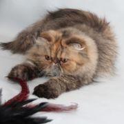Reinrassige perser Katze,