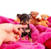 Mini Hunde Russkiy