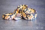 Python Regius Königspython 0 1